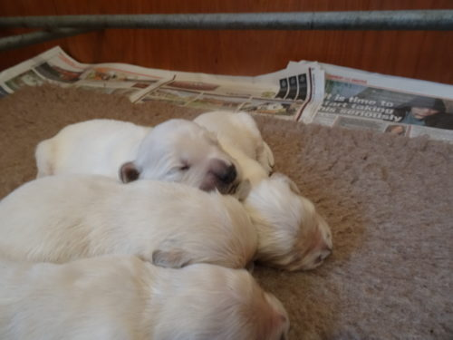 Smitz pups 1 week old 002