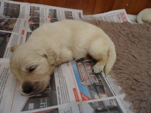 Smitz pups 2 weeks old 014