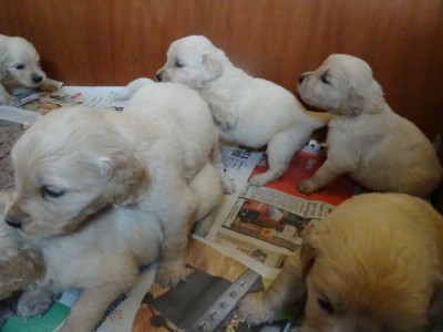 Smitz pups 3 weeks old 010