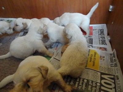 Smitz pups 3 weeks old 015