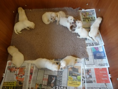Smitz pups 3 weeks old 021