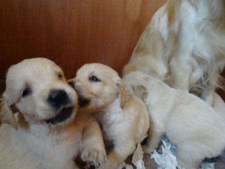 Smitz pups 4 weeks old 011