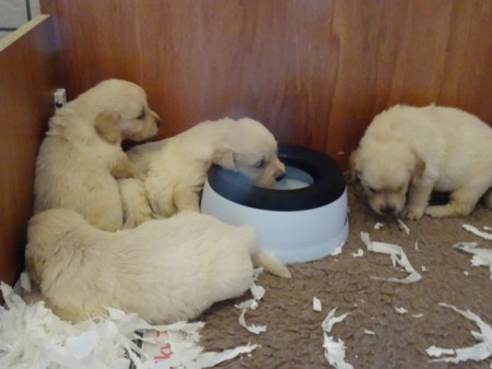 Smitz pups 4 weeks old 012