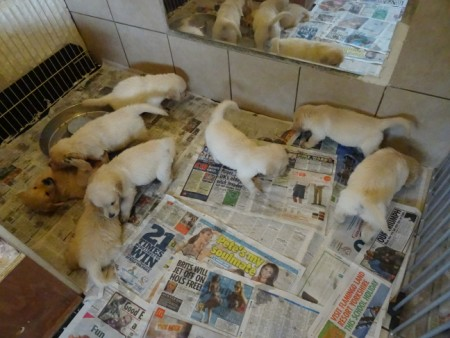 Smitz pups 5 weeks old 014